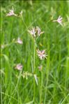 Photo 1/6 Lychnis flos-cuculi L.