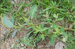 Oxybasis glauca (L.) S.Fuentes, Uotila & Borsch