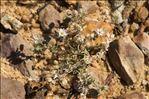 Spergula echinosperma (Celak.) E.H.L.Krause