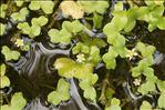 Ranunculus hederaceus L.