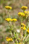 Photo 1/1 Achillea ageratum L.