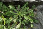 Achillea erba-rotta subsp. moschata (Wulfen) Vacc.