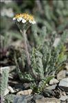 Photo 5/5 Achillea nana L.