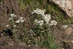 Photo 1/2 Achillea ptarmica subsp. pyrenaica (Sibth. ex Godr.) Heimerl