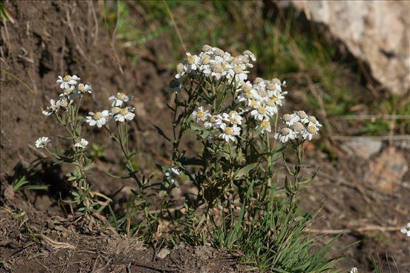 Achillea ptarmica subsp. pyrenaica (Sibth. ex Godr.) Heimerl