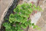 Photo 1/3 Adiantum capillus-veneris L.