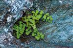 Photo 2/3 Adiantum capillus-veneris L.