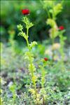 Adonis aestivalis L. subsp. aestivalis