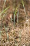 Aegilops geniculata Roth
