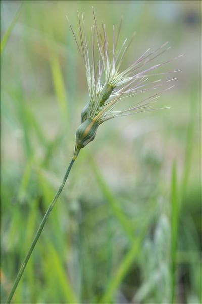 Aegilops neglecta Req. ex Bertol.