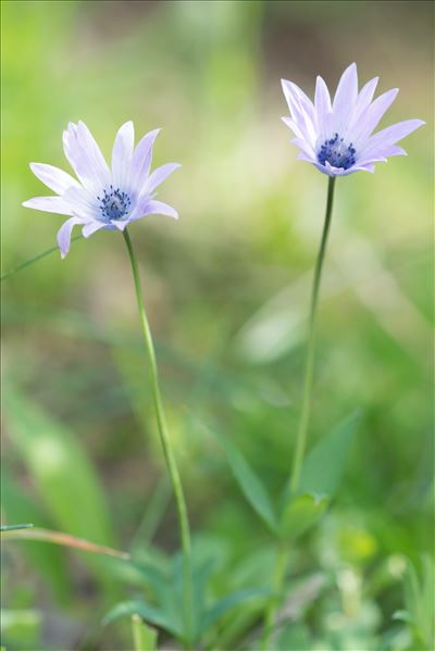 Anemone hortensis L.