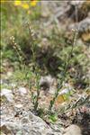 Aethionema saxatile subsp. ovalifolium (DC.) Nyman