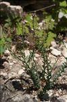 Aethionema saxatile subsp. monospermum (R.Br.) P.Fourn.