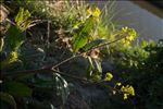 Photo 1/1 Brassica nigra (L.) W.D.J.Koch