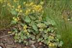 Photo 1/1 Alchemilla acutiloba Opiz