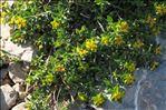 Photo 4/4 Euphorbia flavicoma subsp. mariolensis (Rouy) O.Bolòs & Vigo