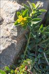 Photo 3/4 Euphorbia flavicoma subsp. mariolensis (Rouy) O.Bolòs & Vigo