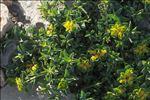 Photo 2/4 Euphorbia flavicoma subsp. mariolensis (Rouy) O.Bolòs & Vigo