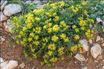 Photo 1/4 Euphorbia flavicoma subsp. mariolensis (Rouy) O.Bolòs & Vigo