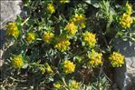 Euphorbia flavicoma subsp. mariolensis (Rouy) O.Bolòs & Vigo