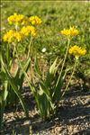 Photo 1/2 Allium moly L.
