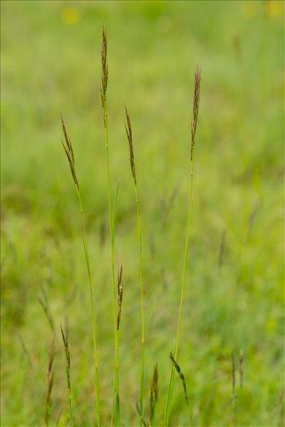 Bromopsis erecta (Huds.) Fourr. subsp. erecta