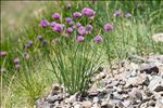 Photo 1/4 Allium schoenoprasum L.