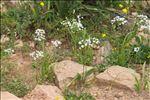 Allium subhirsutum L.