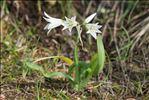 Photo 1/5 Allium triquetrum L.
