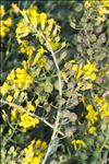 Photo 4/7 Alyssoides utriculata (L.) Medik.