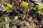 Photo 1/2 Alyssum simplex Rudolphi