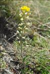 Photo 2/13 Alyssum montanum L.