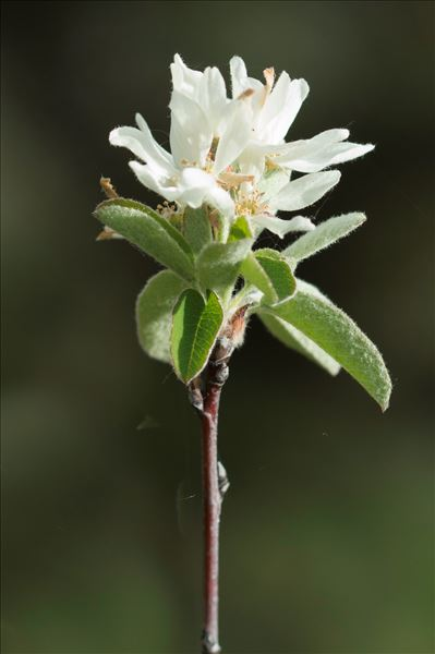 Amelanchier ovalis subsp. embergeri Favarger & Stearn