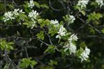 Photo 6/7 Amelanchier ovalis subsp. embergeri Favarger & Stearn