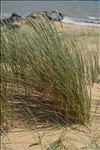 Photo 5/8 Ammophila arenaria subsp. arundinacea (Husn.) H.Lindb.