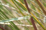 Ammophila arenaria (L.) Link subsp. arenaria