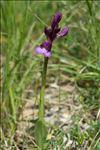 Anacamptis papilionacea var. expansa (Ten.) Bateman, Pridgeon & M.W.Chase