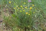 Anacyclus valentinus L.
