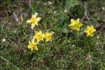 Narcissus assoanus Dufour