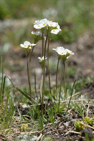 Androsace obtusifolia All.