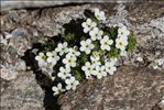Androsace pubescens DC.