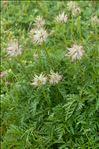 Anemone alpina L.