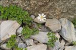 Photo 4/4 Anemone baldensis L.