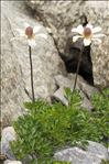 Anemone baldensis L.