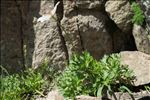 Photo 2/4 Anemone baldensis L.