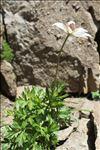 Photo 1/4 Anemone baldensis L.