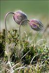 Anemone vernalis L.