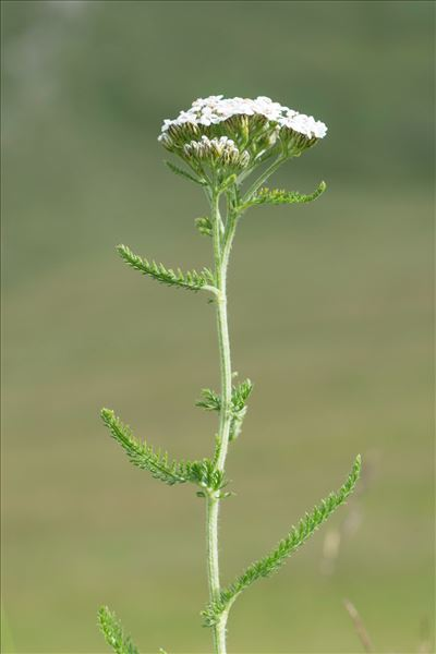 Achillea distans Waldst. & Kit. ex Willd. subsp. distans