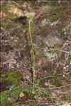 Laserpitium halleri Crantz subsp. halleri