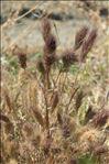 Anisantha rubens (L.) Nevski